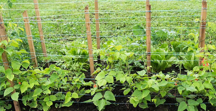 A staked row trellis works great for thick-vined plants