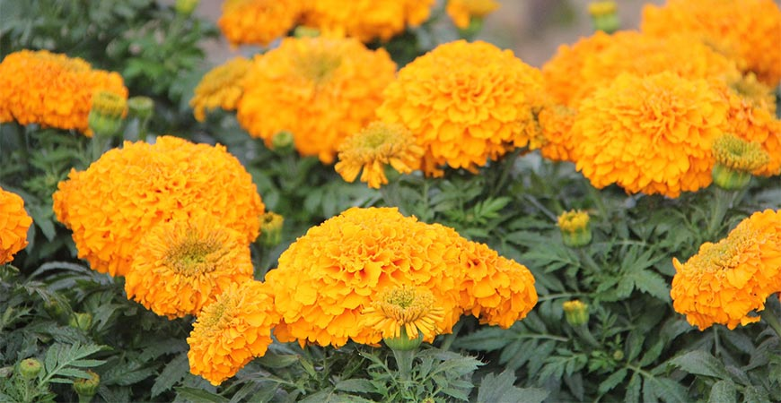 Marigold look great in containers