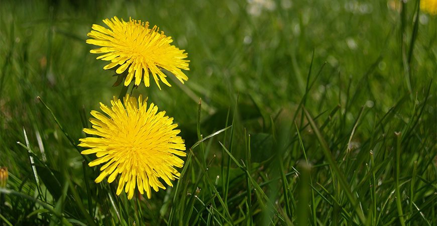 Dandelion is a very common weed to see in grass