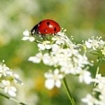 The Benefits of Ladybugs and How to Attract Them to Your Garden