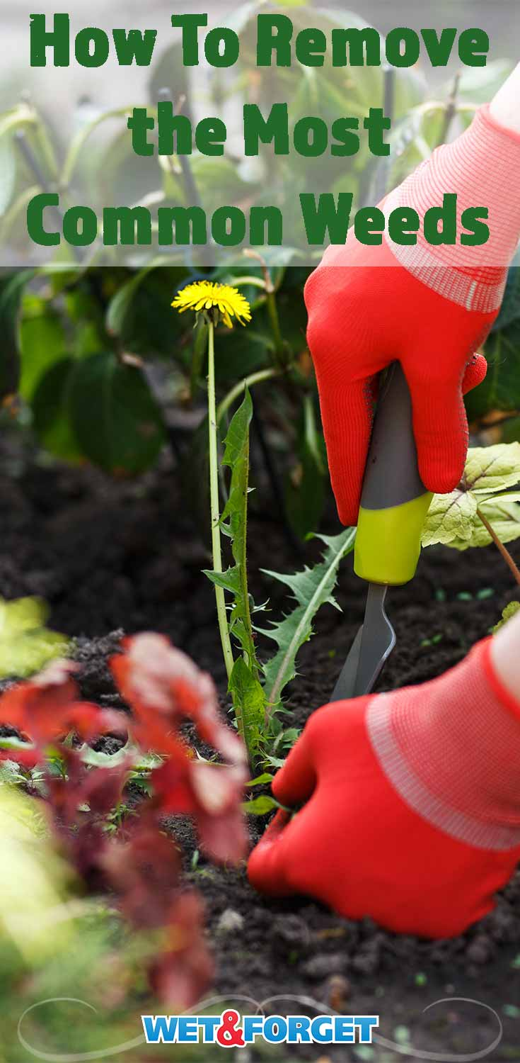 Learn how to remove the most common weeds in your garden and lawn with our guide!