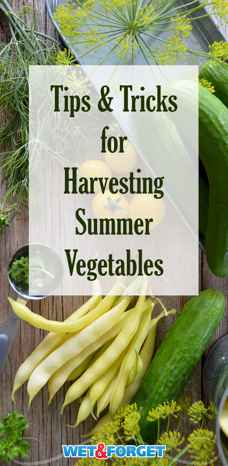 -	Learn when the optimum time to harvest summer vegetables is with this handy guide.