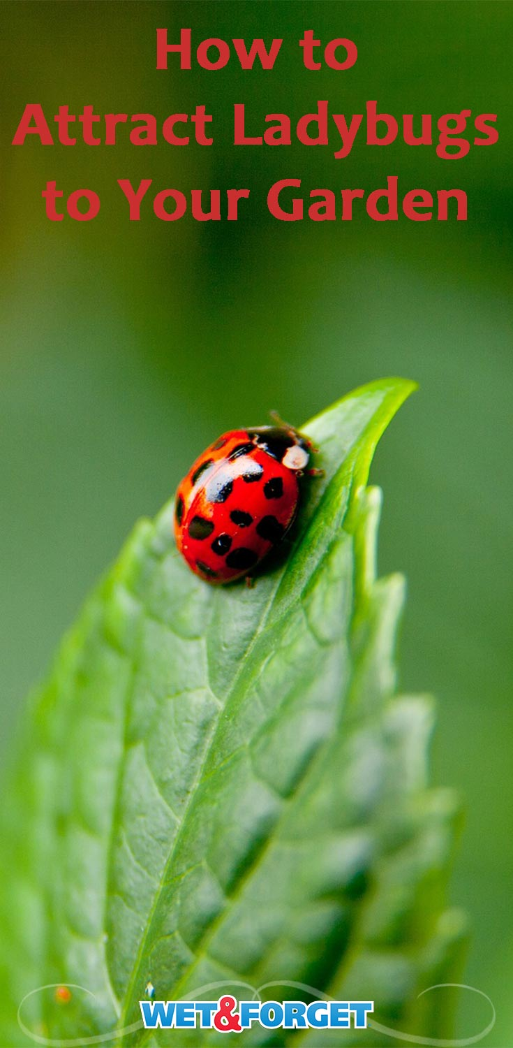 There are so many benefits to having ladybugs in your garden! Find out how to attract them to your backyard with these helpful tips.