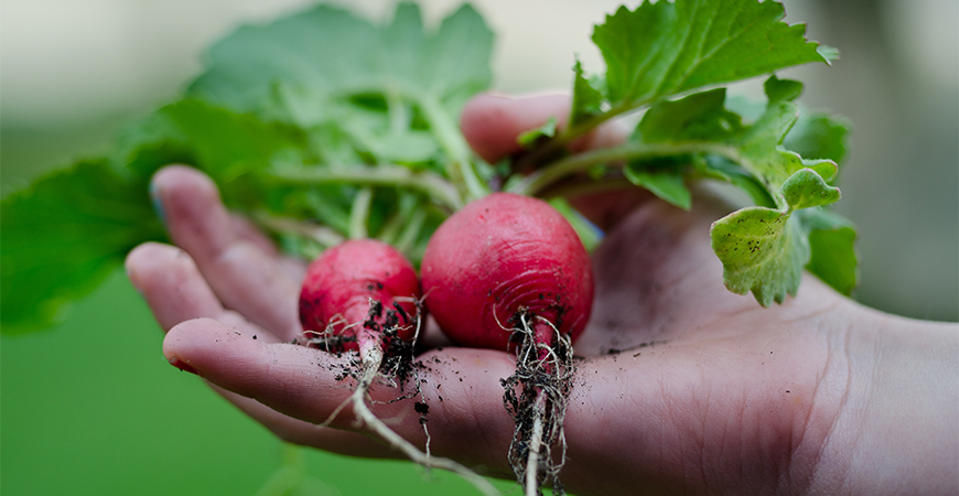 fall harvest radish