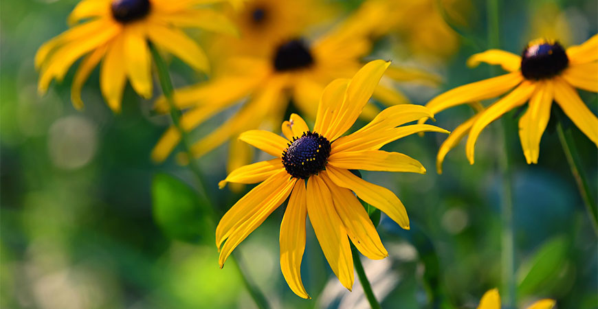 black eyed susan fall blooming flowers