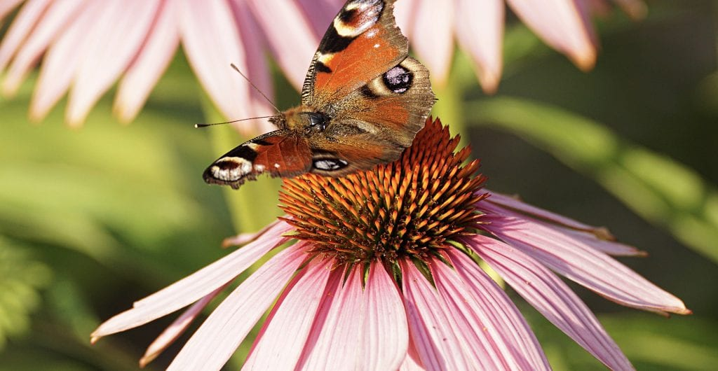 how to care for coneflowers