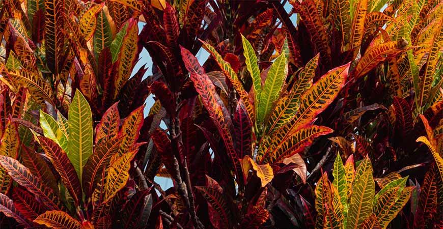 fall croton plant