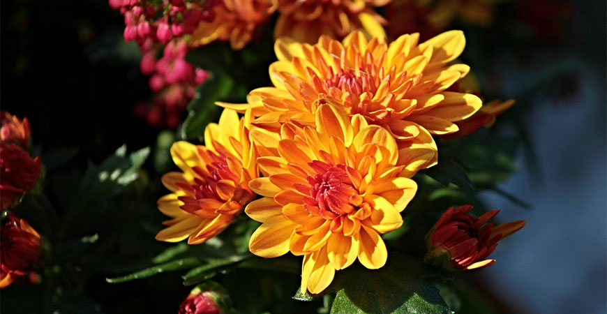 mums fall blooming flowers